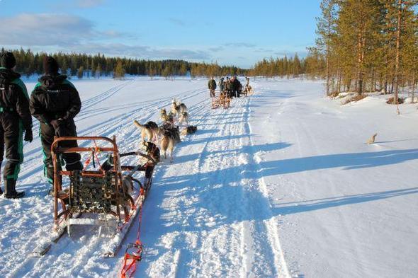 Hundeschlittenfahren in Arvidsjaur / Schweden - (Wintersport, Hund, Hundeschlitten)