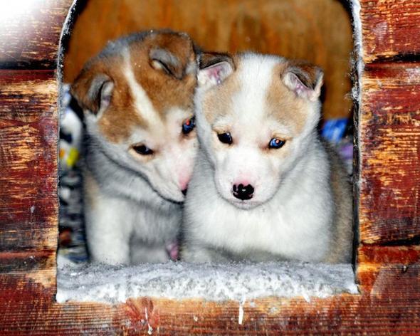 Hundeschlittenfahren in Levi / Finnland - (Wintersport, Hund, Hundeschlitten)