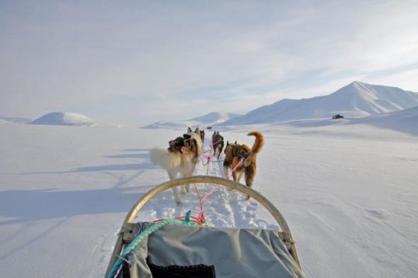 Hundeschlittenfahren in Spitzbergen - (Wintersport, Hund, Hundeschlitten)