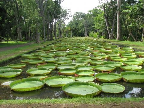 Seerosen - (Sehenswürdigkeiten, Mauritius)