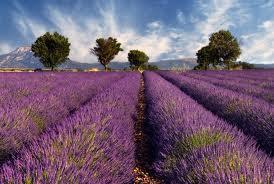 Lavendel - (Frankreich, Natur, Autoreise)