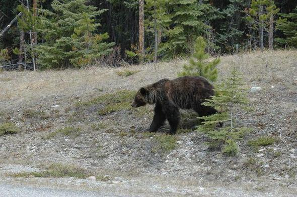 Bärenland Kanada - (Amerika, Kanada, Nordamerika)