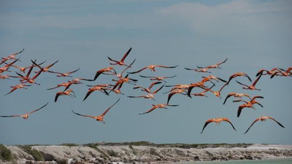 Flamingos - (Lateinamerika, Mexiko, Yucatan)