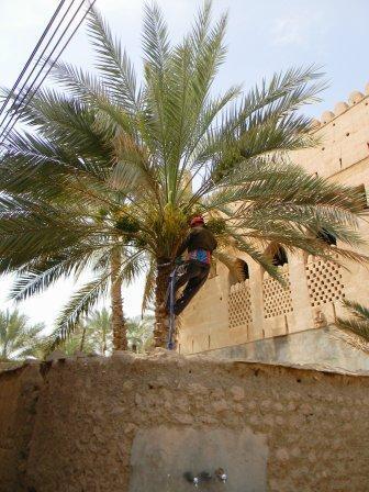 Dattelernte in luftiger Höhe - (Architektur, Arabien, fotografieren)