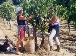 Weinlese in der Toskana - (Italien, Toskana, Wein)