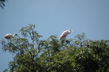 Große Vögel - (Südamerika, Costa-Rica, Parque-nacional)