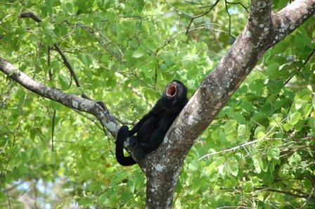 Affe bei der Mittagsruhe - (Südamerika, Costa-Rica, Parque-nacional)