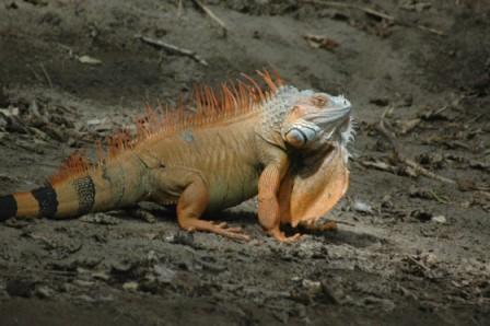 Fetter Leguan - (Südamerika, Costa-Rica, Parque-nacional)
