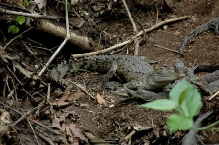 Krokodilfamilie - (Südamerika, Costa-Rica, Parque-nacional)