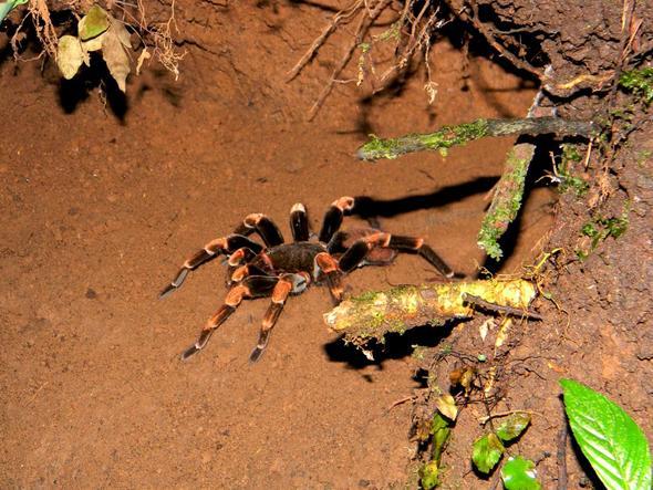 Monsterspinne - (Südamerika, Costa-Rica, Parque-nacional)