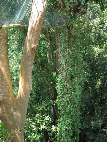 """""""Wanderweg"""" in den Baumkronen - (Asien, Indonesien, Südostasien)"""