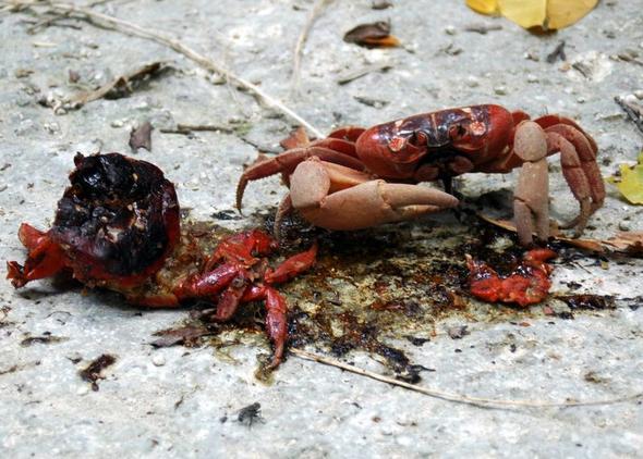 Mahlzeit (eine rote Krabbe auf Christmas Island) - (Reiseziel, weltweit, Flora und Fauna)
