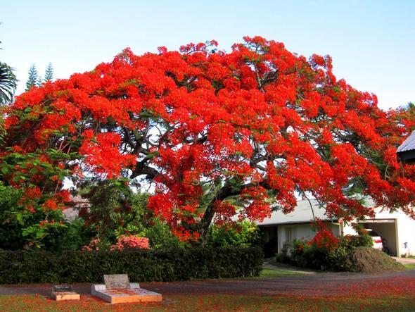 Flametree in voller Blüte - (Insel, Kreuzfahrt, Besichtigung)