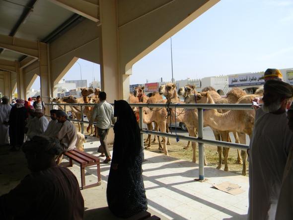 Kamelmarkt in Sinaw - (Oman, teuer)