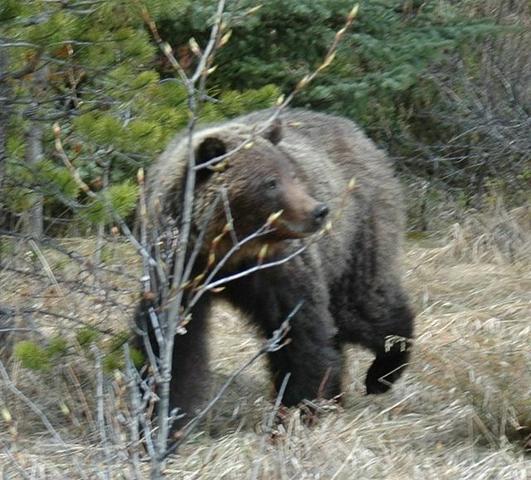 Unser Bruno, ein Grizzlybär - (Kanada, Straßenverhältnisse im Oktober)