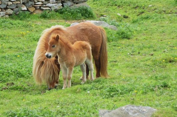 Nachwuchs auf Shetland - (Insel, Wanderurlaub, Shetland)