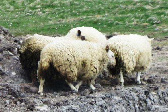 Shetland Wool - (Insel, Wanderurlaub, Shetland)