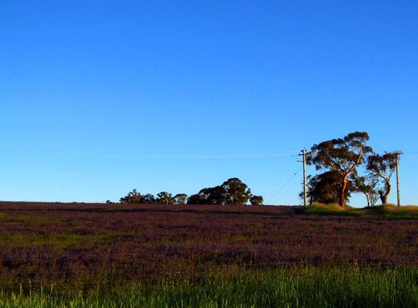 Frühlingsblüte - (Australien, Natur, Nationalpark)