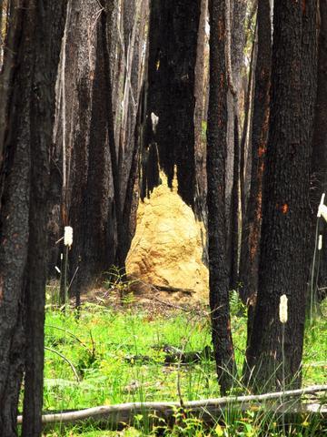 Der im Vorjahr verbrannte Wald - ein Eldorado für Termiten! - (Australien, Natur, Nationalpark)