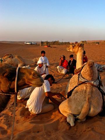'Pediküre' - bei Kamelen mit der Säge - (Tourismus, Oman, Arabien)