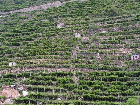 Terrassierter Weinberg bei Donnas - (Italien, Reise, Urlaub)