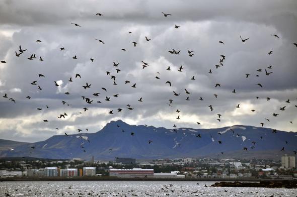 Papageientaucher vor Rekjavik /Island - (Sehenswürdigkeiten, Island, Hauptstadt)