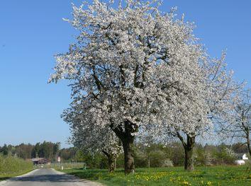 Bodensee Apfelblüte - (Bodensee, Apfelbluete)