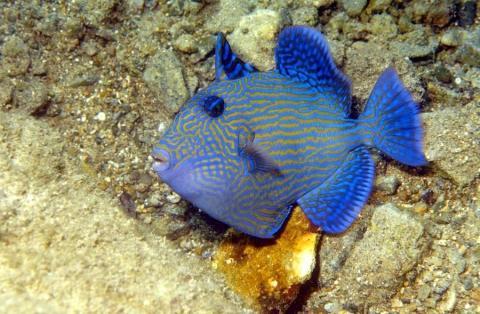 juveniler Blaustreifendrücker - (Ägypten, Tauchen, Schnorcheln)