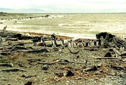 Pinguine in Seno Otway  - (Südamerika, Chile, Pinguin-Kolonien)